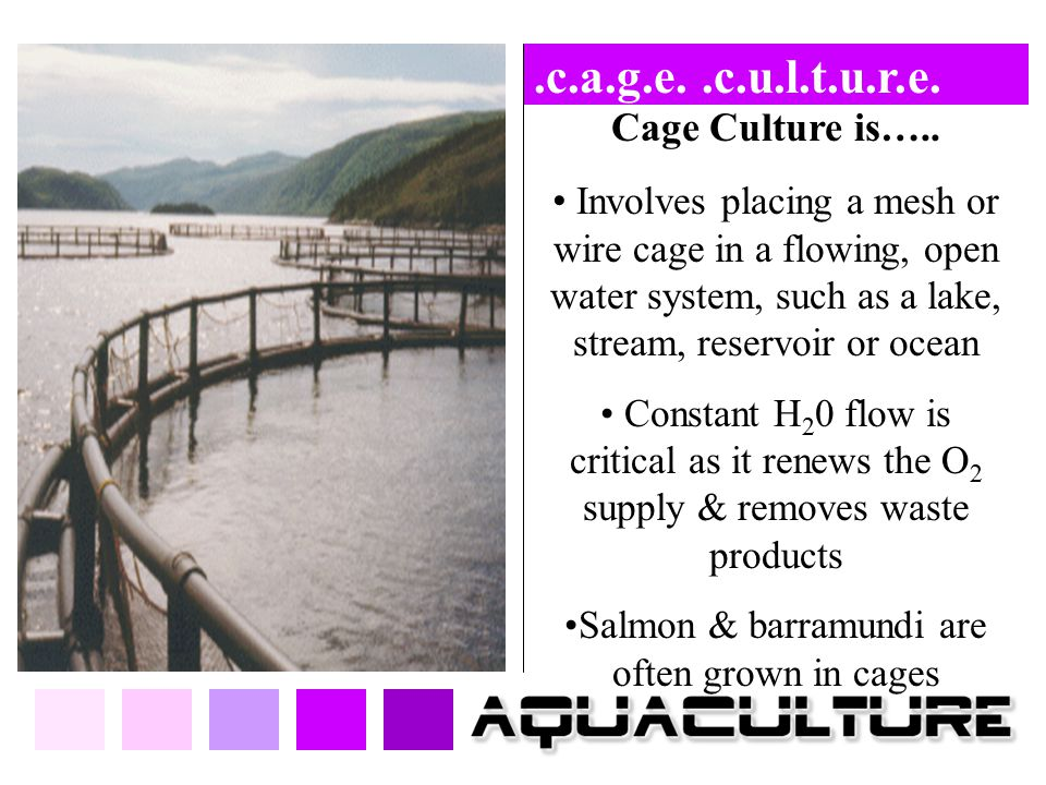 Salmon & barramundi are often grown in cages