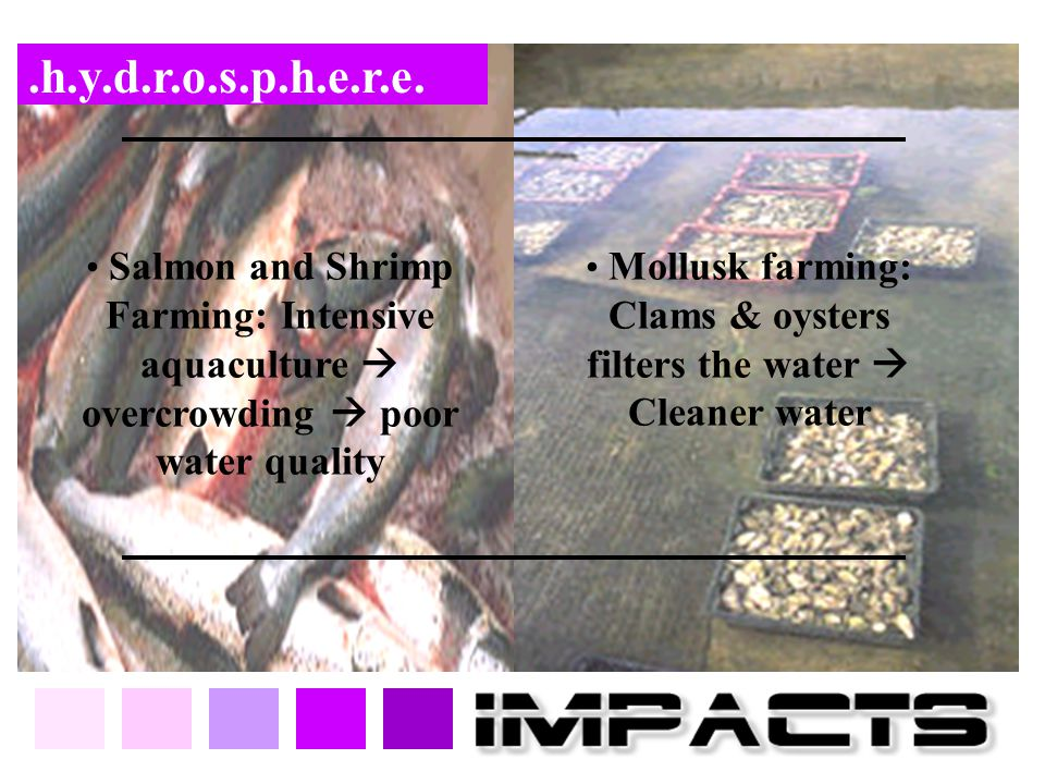 Mollusk farming: Clams & oysters filters the water  Cleaner water