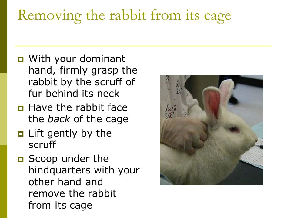 Removing the rabbit from its cage