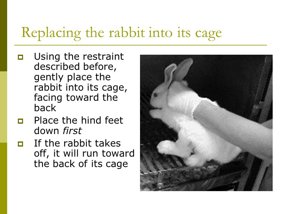 Replacing the rabbit into its cage