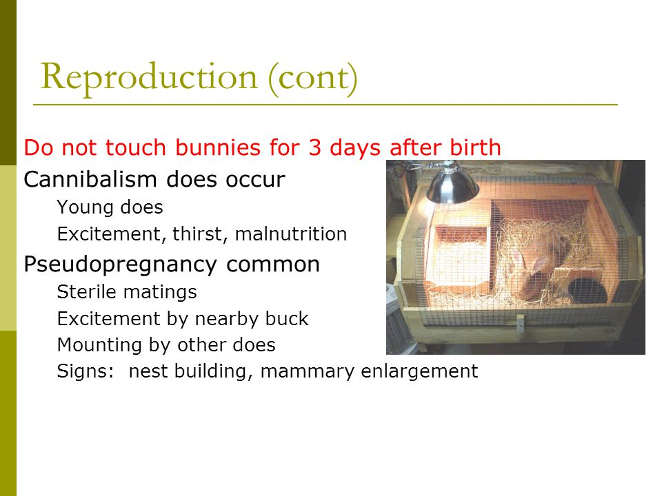 Reproduction (cont) Do not touch bunnies for 3 days after birth