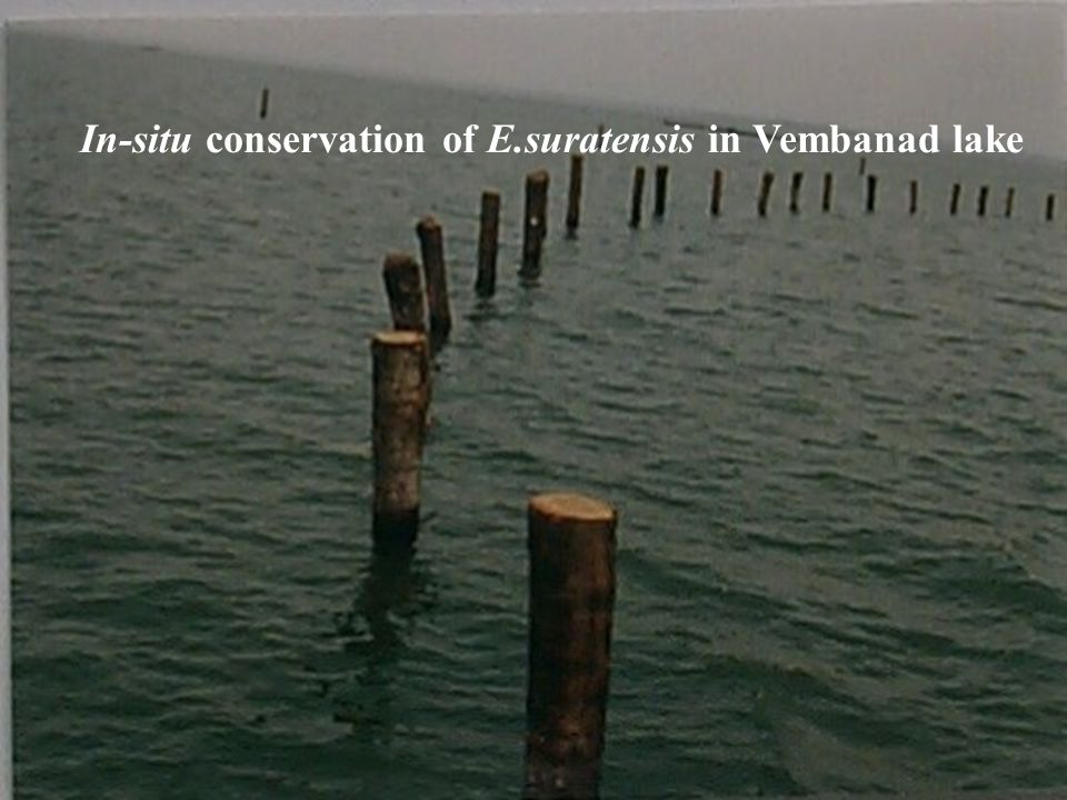 In-situ conservation of E.suratensis in Vembanad lake