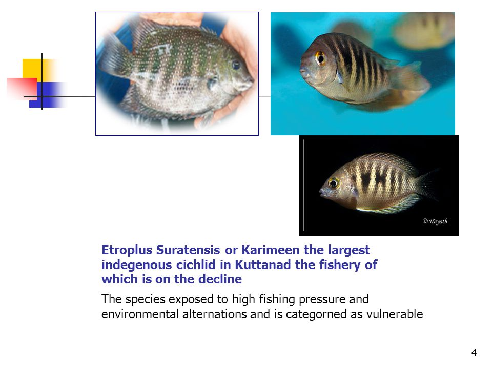 Etroplus Suratensis or Karimeen the largest indegenous cichlid in Kuttanad the fishery of which is on the decline