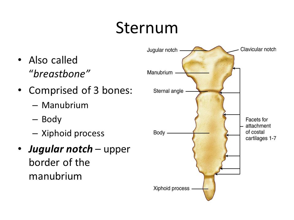 Sternum Also called breastbone Comprised of 3 bones: