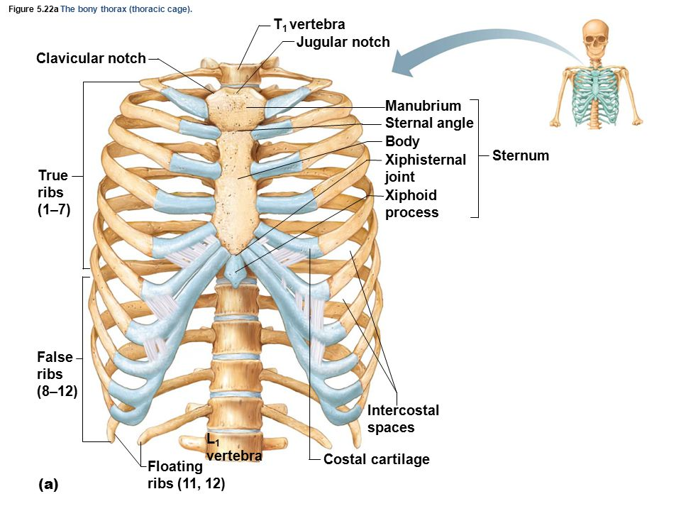 Figure 5.22a The bony thorax (thoracic cage).
