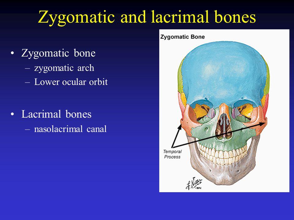 Zygomatic and lacrimal bones