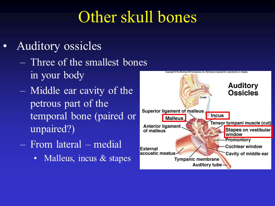 Other skull bones Auditory ossicles