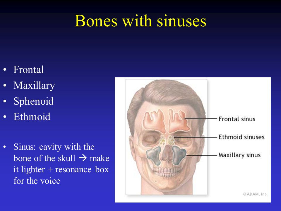 Bones with sinuses Frontal Maxillary Sphenoid Ethmoid