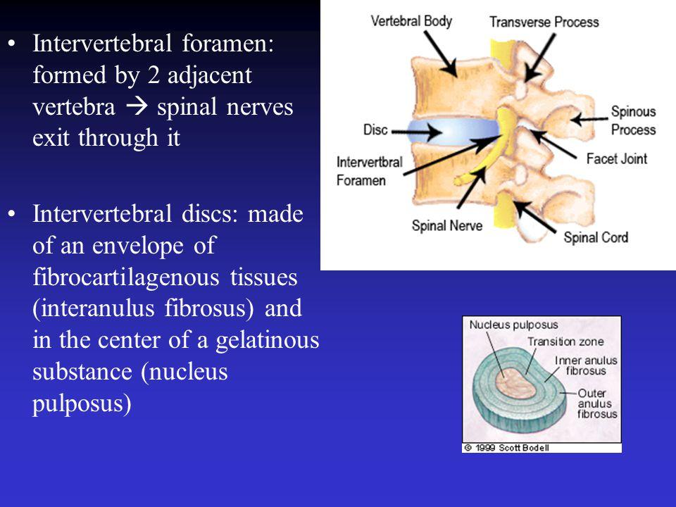 Intervertebral foramen: formed by 2 adjacent vertebra  spinal nerves exit through it