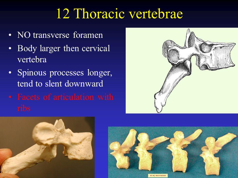 12 Thoracic vertebrae NO transverse foramen