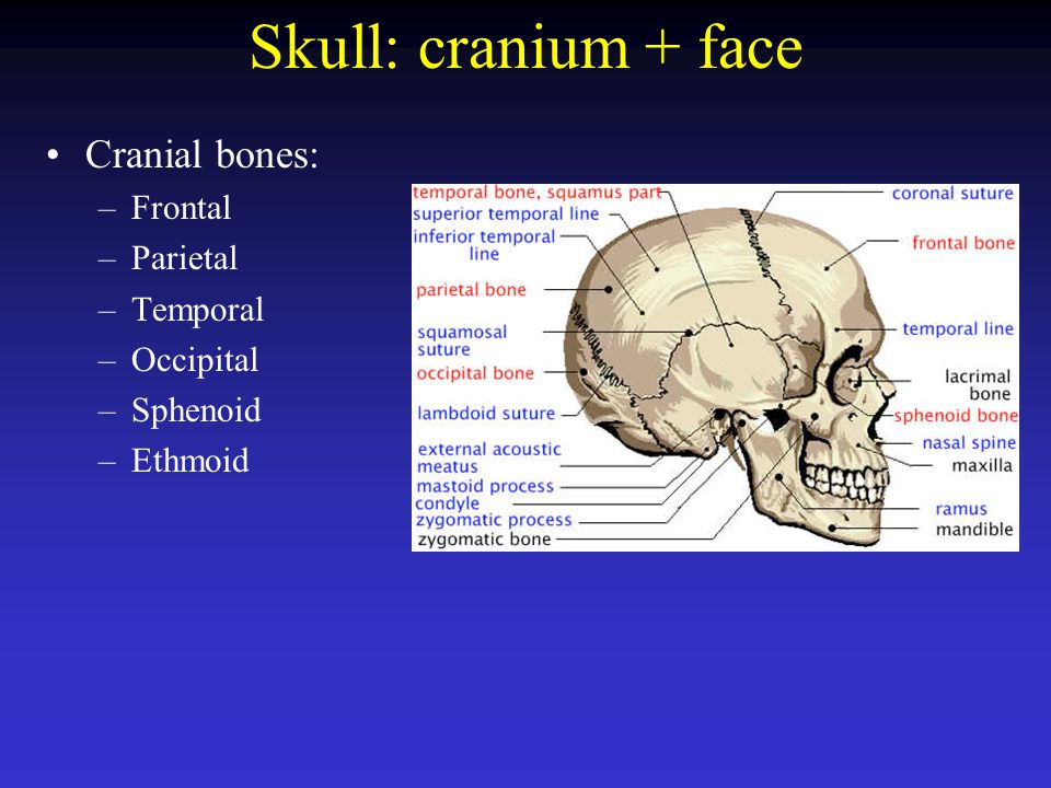Skull: cranium + face Cranial bones: Frontal Parietal Temporal