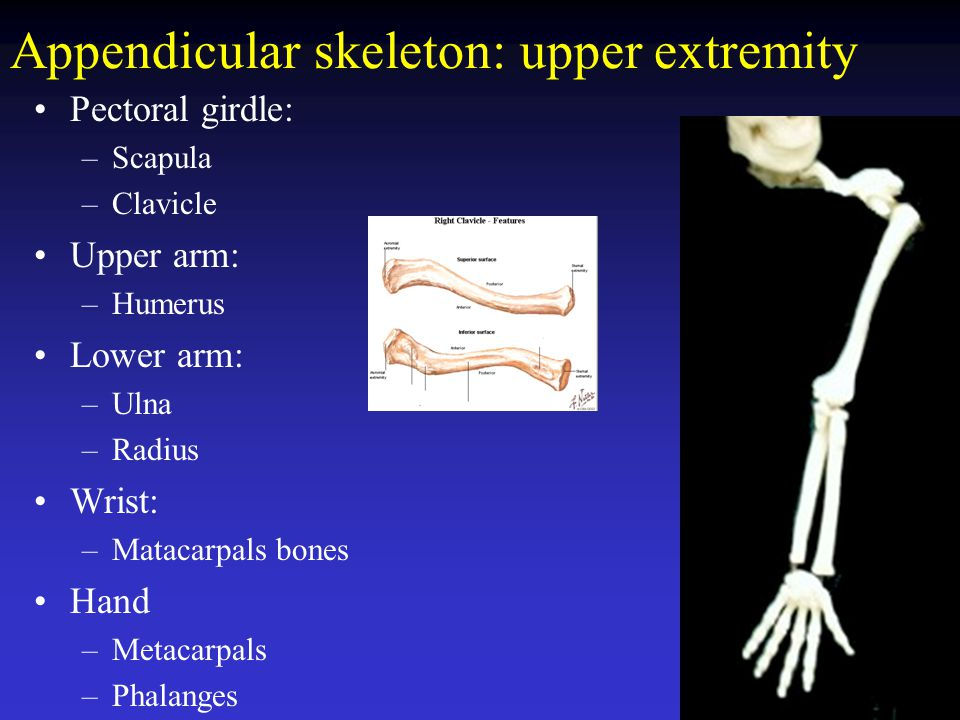 Appendicular skeleton: upper extremity
