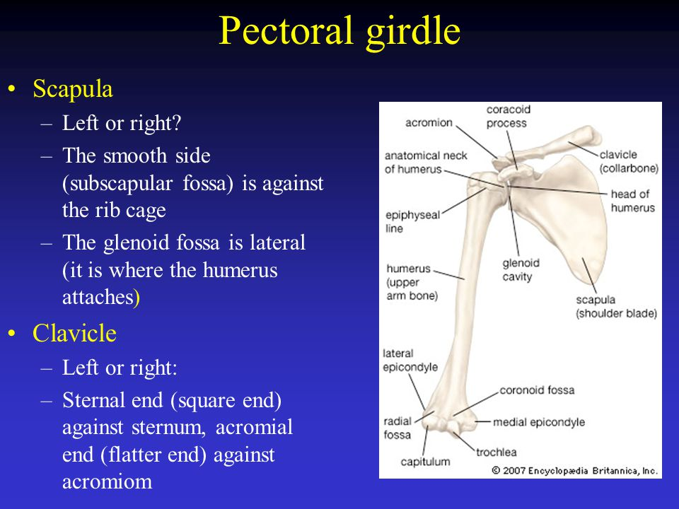Pectoral girdle Scapula Clavicle Left or right
