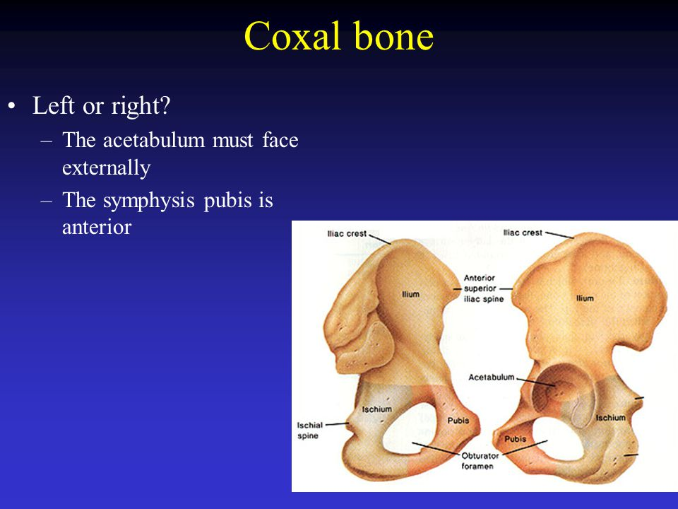 Coxal bone Left or right The acetabulum must face externally