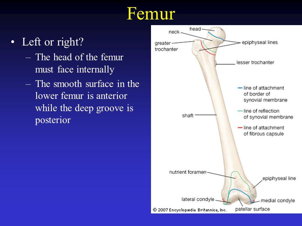 Femur Left or right The head of the femur must face internally