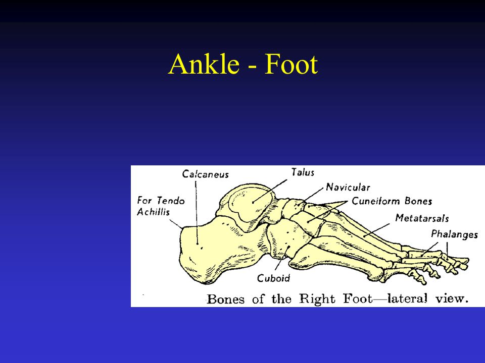 Ankle - Foot