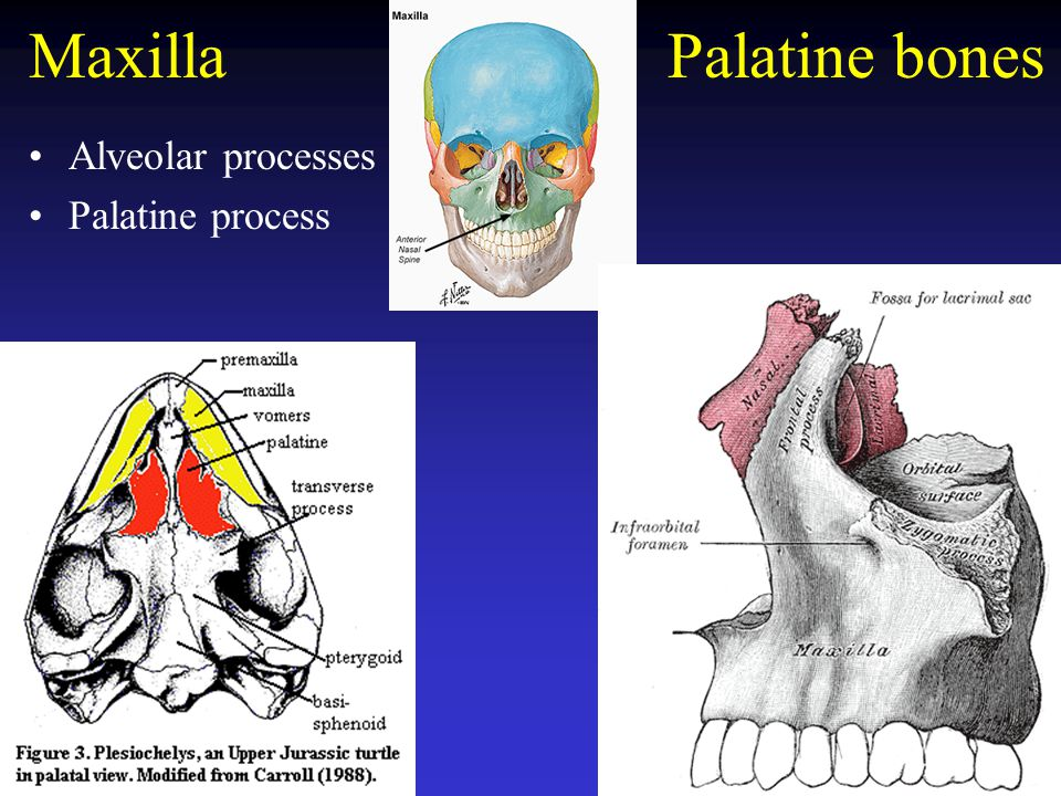 Maxilla Palatine bones