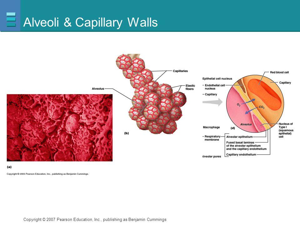 Alveoli & Capillary Walls