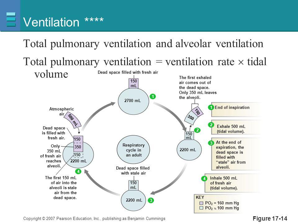 Ventilation **** Total pulmonary ventilation and alveolar ventilation