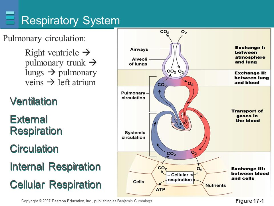 Respiratory System Ventilation External Respiration Circulation