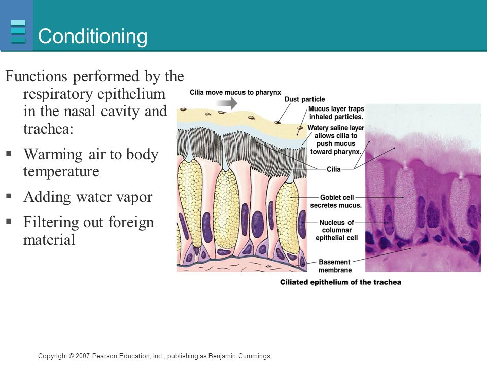 Conditioning Functions performed by the respiratory epithelium found in the nasal cavity and trachea:
