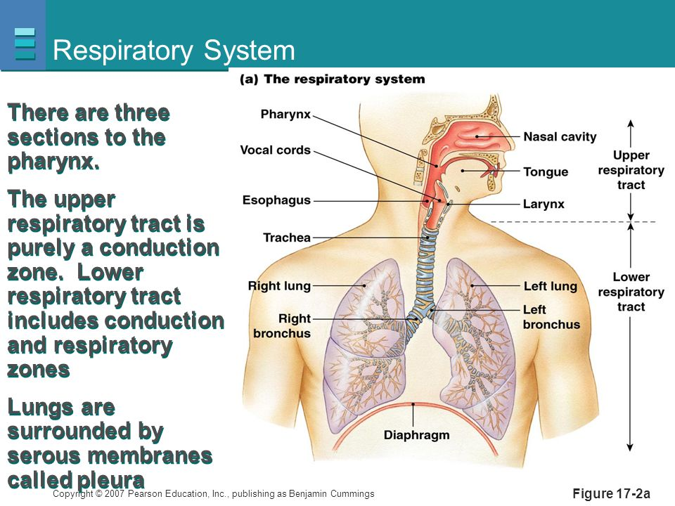 Respiratory System There are three sections to the pharynx.