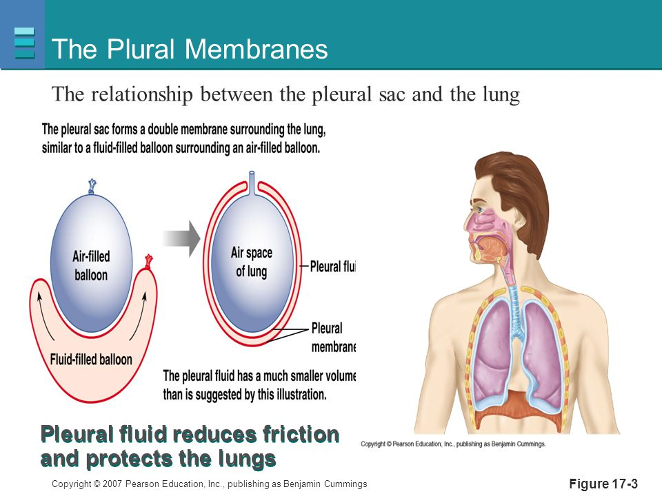 The Plural Membranes The relationship between the pleural sac and the lung. Pleural fluid reduces friction and protects the lungs.