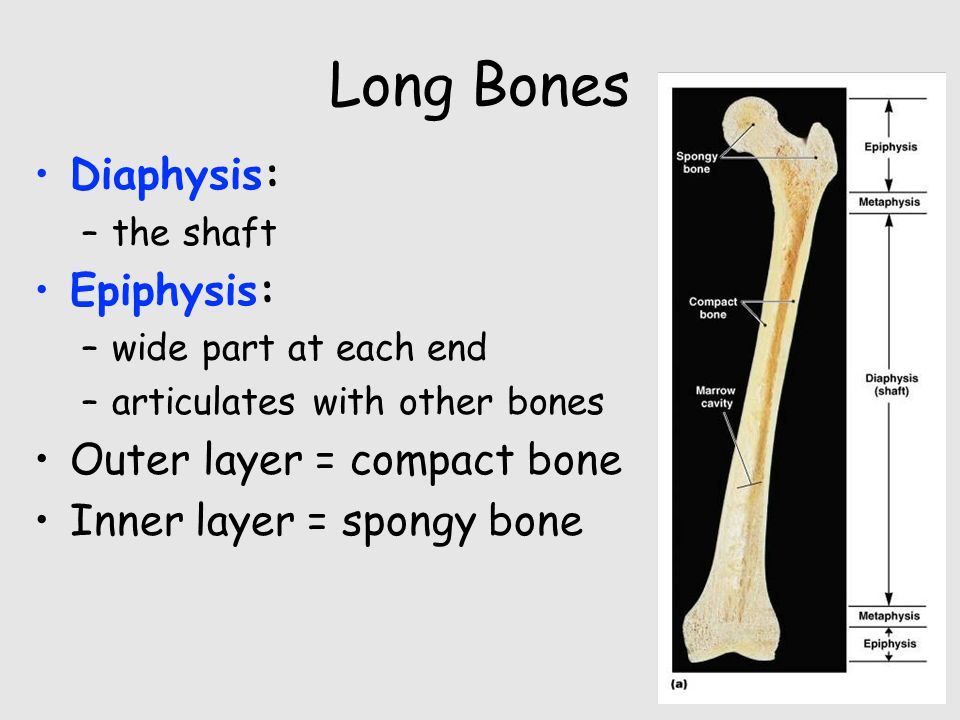 Long Bones Diaphysis: Epiphysis: Outer layer = compact bone