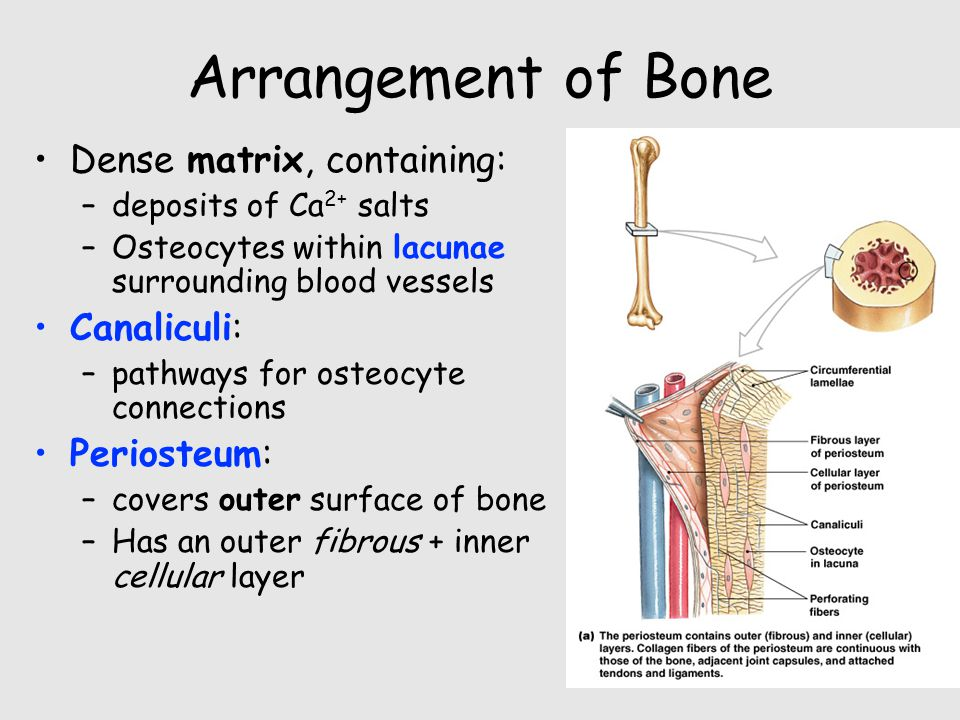 Arrangement of Bone Dense matrix, containing: Canaliculi: Periosteum: