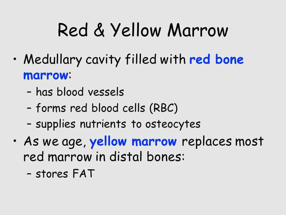 Red & Yellow Marrow Medullary cavity filled with red bone marrow: