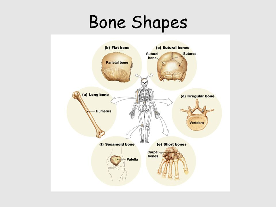 Bone Shapes