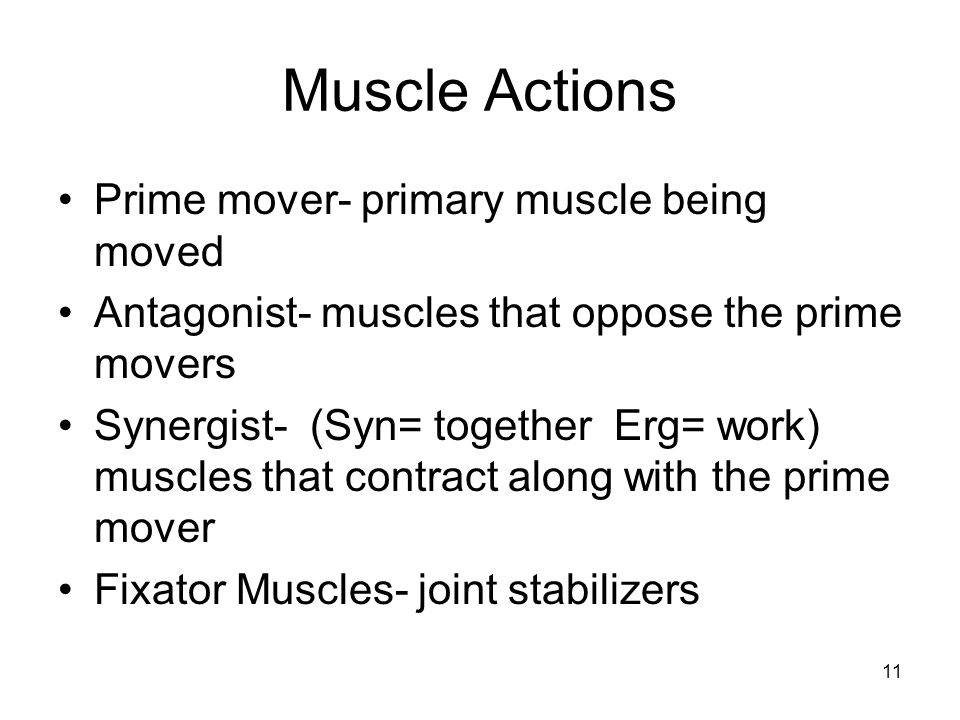 Muscle Actions Prime mover- primary muscle being moved