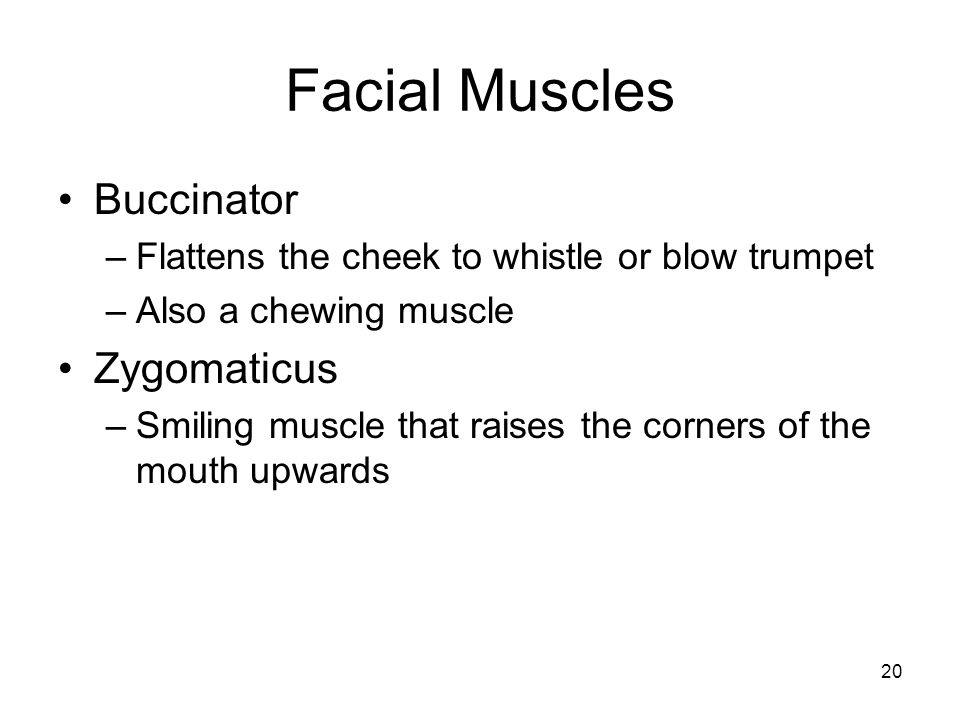 Facial Muscles Buccinator Zygomaticus