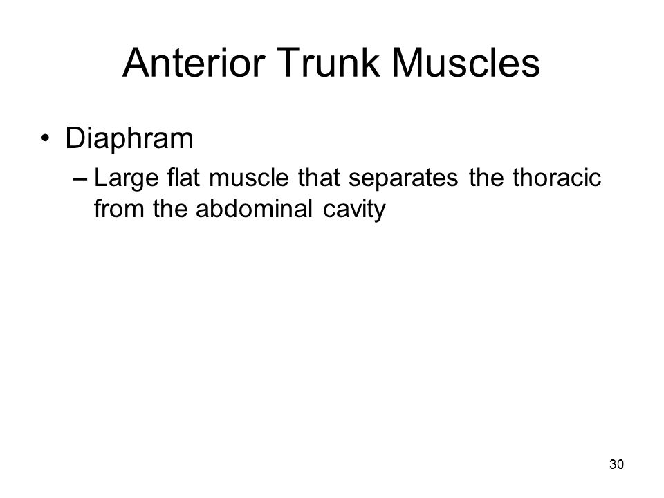 Anterior Trunk Muscles