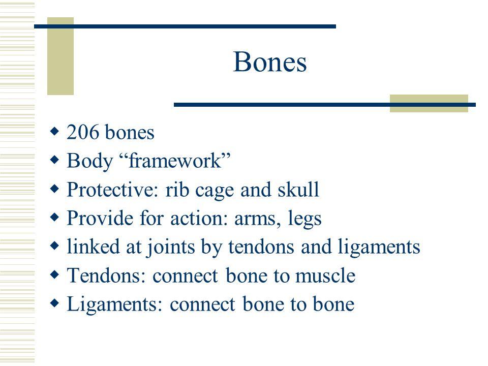 Bones 206 bones Body framework Protective: rib cage and skull