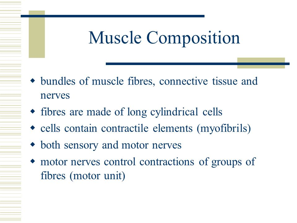 Muscle Composition bundles of muscle fibres, connective tissue and nerves. fibres are made of long cylindrical cells.
