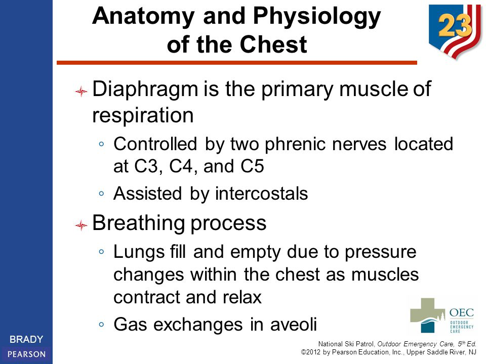 Anatomy and Physiology of the Chest