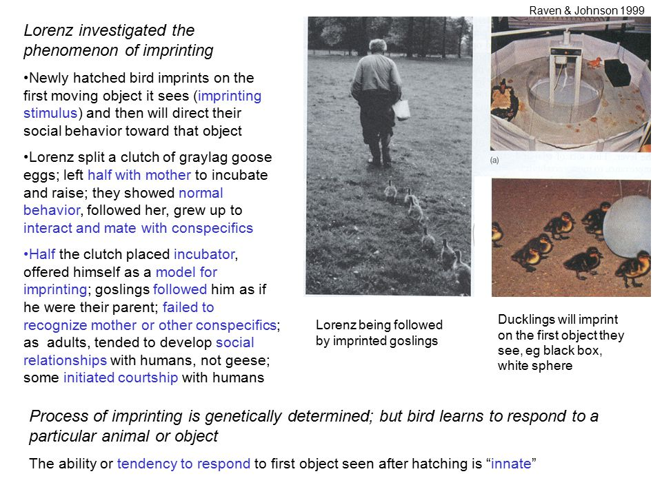 Lorenz investigated the phenomenon of imprinting