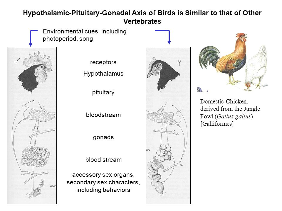 Hypothalamic-Pituitary-Gonadal Axis of Birds is Similar to that of Other Vertebrates