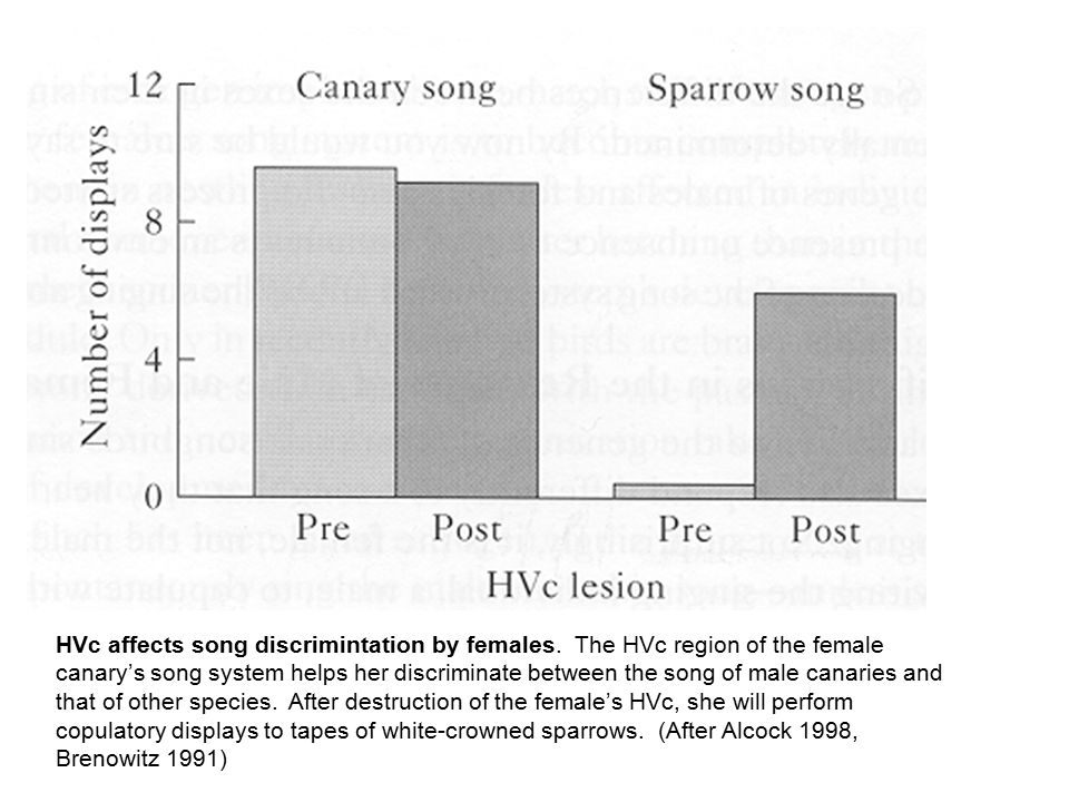 HVc affects song discrimintation by females