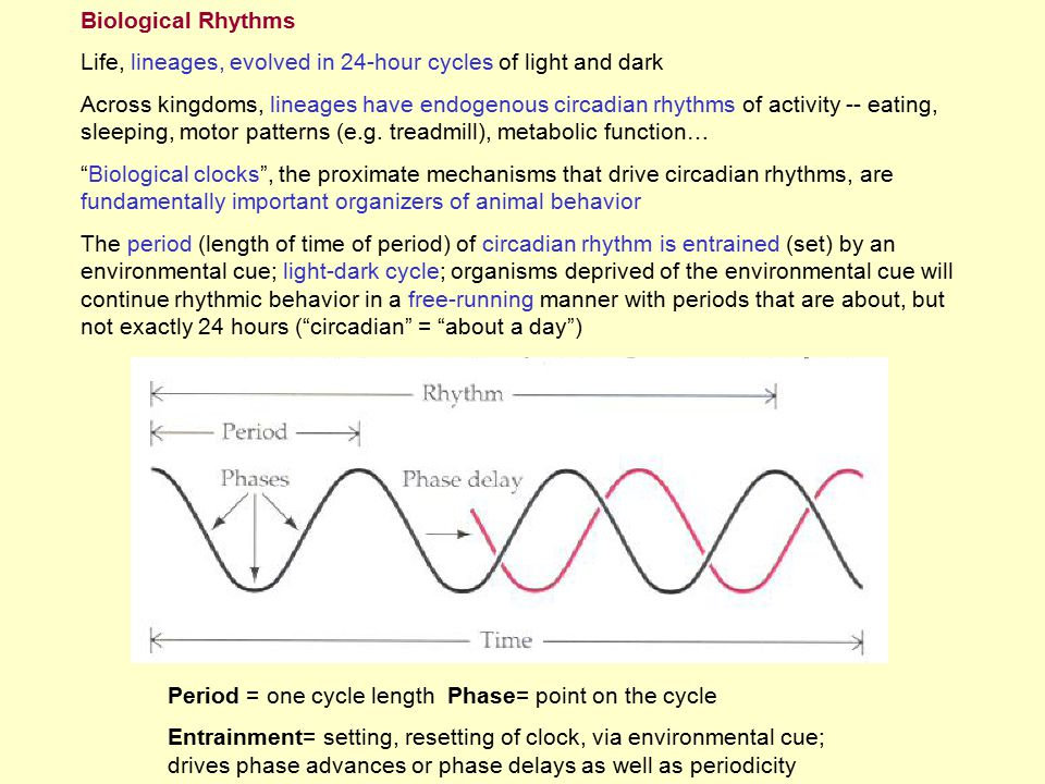 Biological Rhythms Life, lineages, evolved in 24-hour cycles of light and dark.