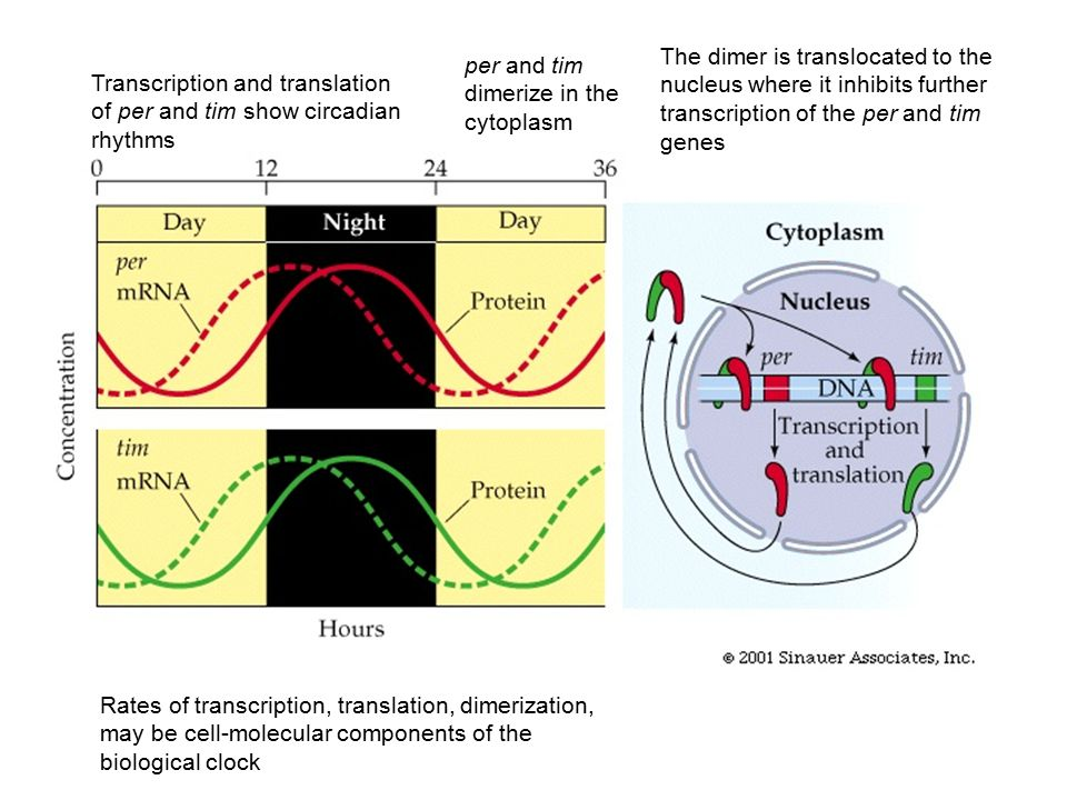 The dimer is translocated to the nucleus where it inhibits further transcription of the per and tim genes