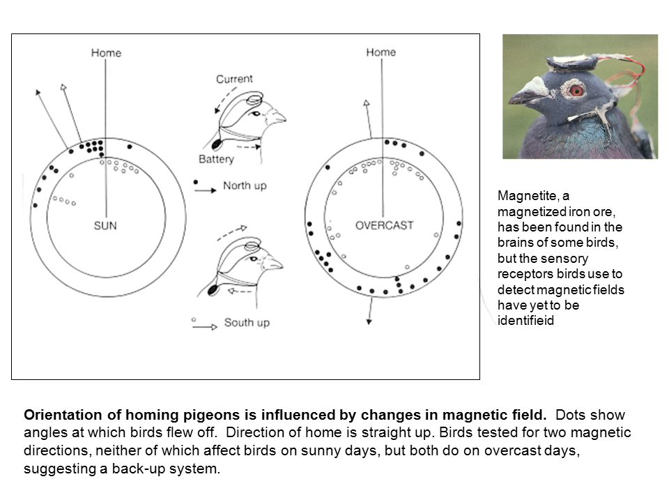 Magnetite, a magnetized iron ore, has been found in the brains of some birds, but the sensory receptors birds use to detect magnetic fields have yet to be identifieid