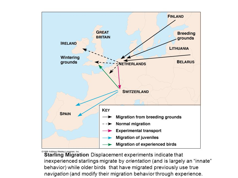 Starling Migration Displacement experiments indicate that inexperienced starlings migrate by orientation (and is largely an innate behavior) while older birds that have migrated previously use true navigation (and modify their migration behavior through experience.