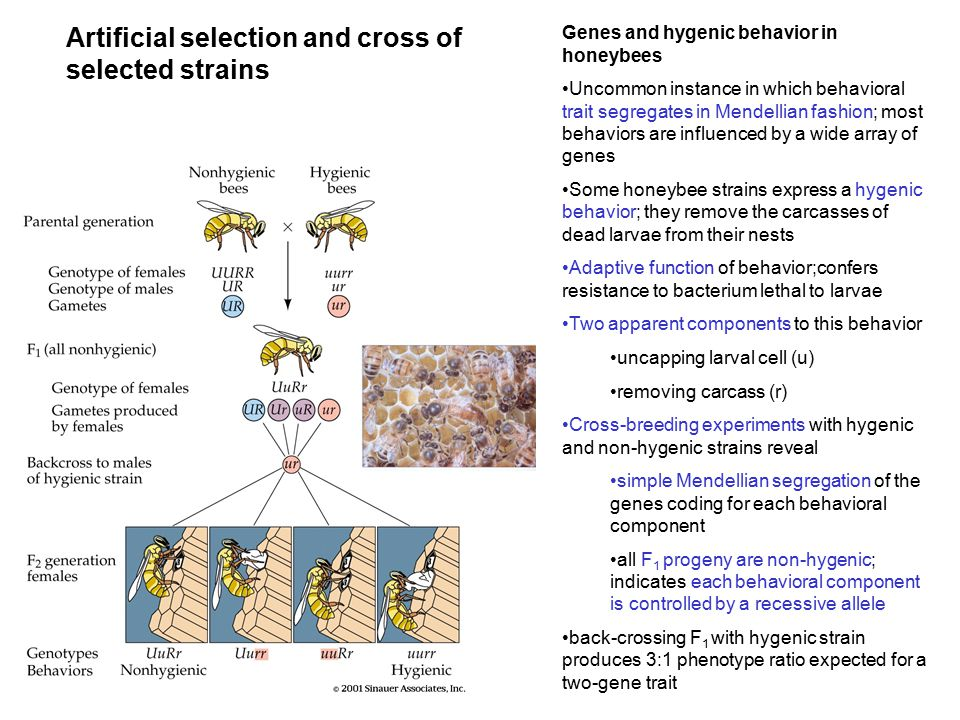 Artificial selection and cross of selected strains