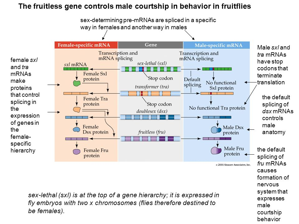 The fruitless gene controls male courtship in behavior in fruitflies