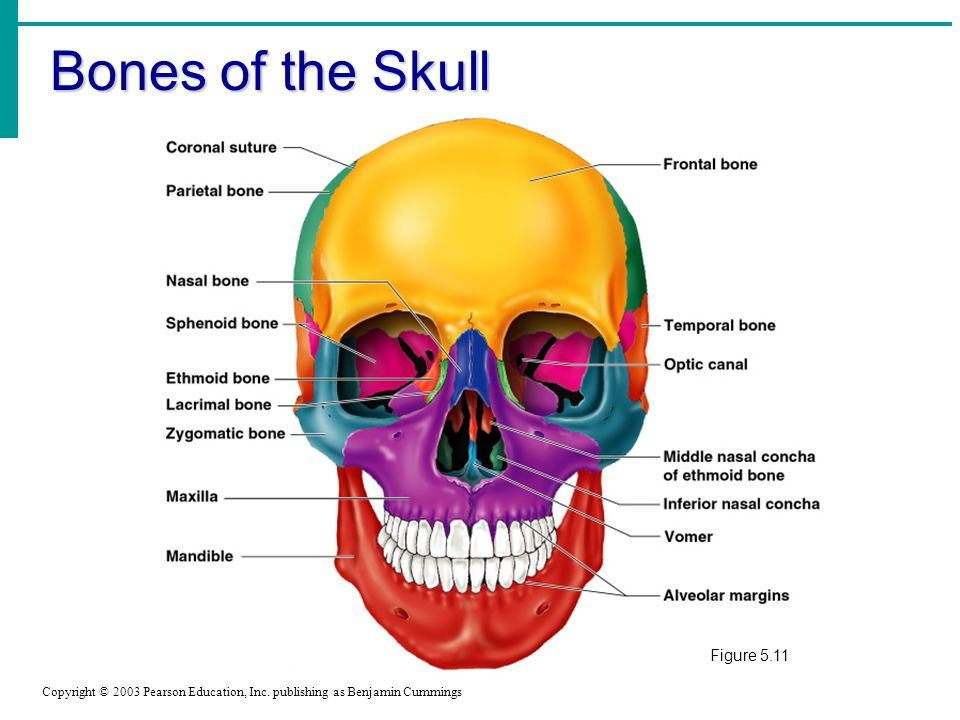Bones of the Skull Figure 5.11