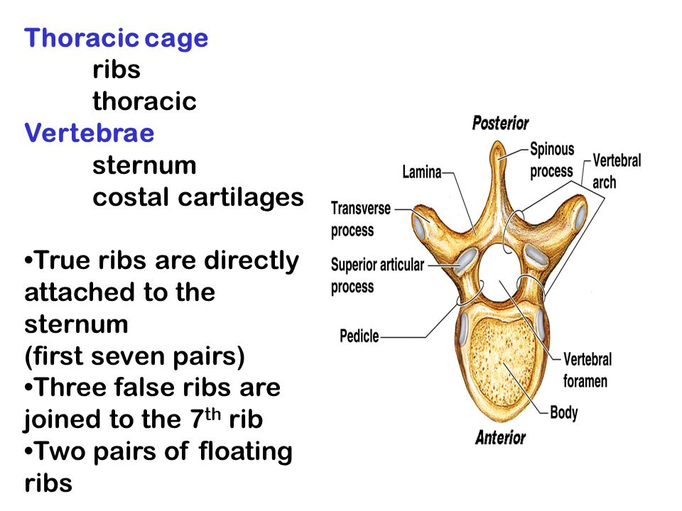 Thoracic cage ribs. thoracic Vertebrae. sternum. costal cartilages. True ribs are directly attached to the sternum.