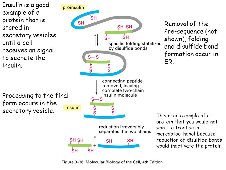 Processing to the final form occurs in the secretory vesicle.