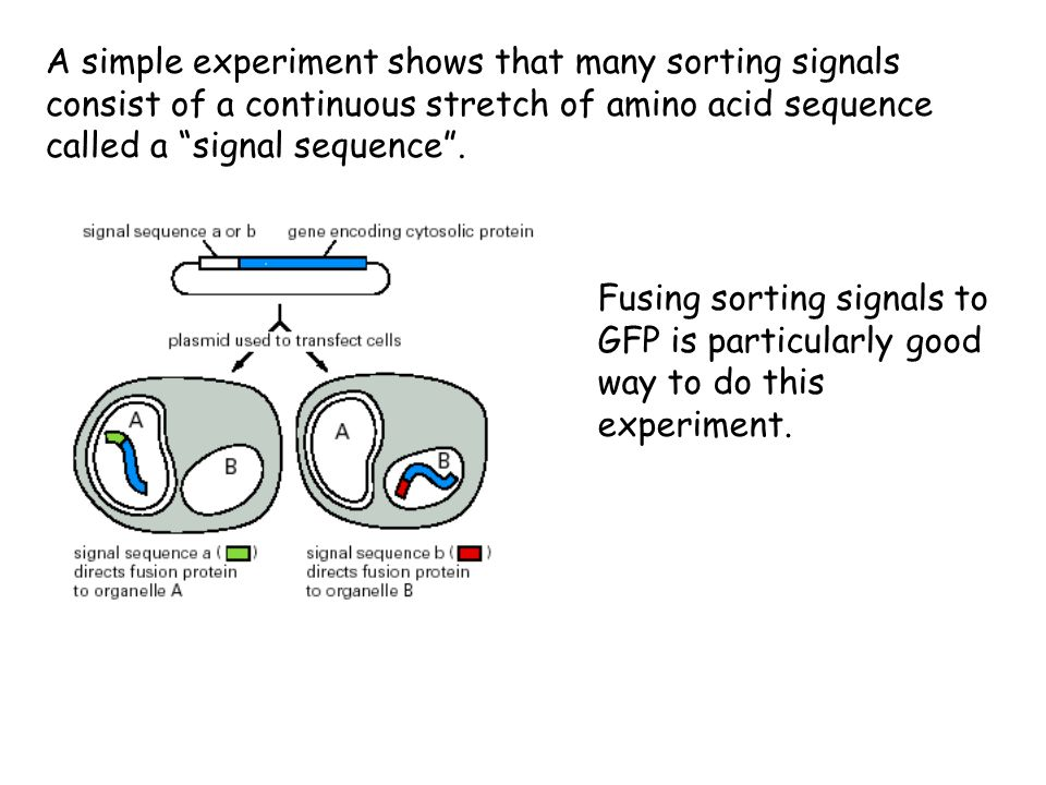A simple experiment shows that many sorting signals consist of a continuous stretch of amino acid sequence called a signal sequence .